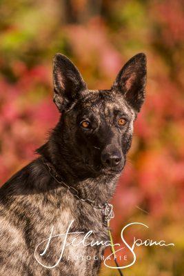 Duna vom Flensburger Land, Holländischer Schäferhund, 10 Monate
