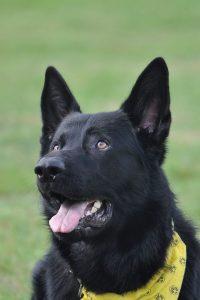 Greg von der Back Pearl, Deutscher Schäferhund