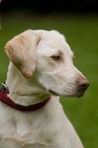 Paul (Besitzer: Bärbel Schmidt) Labrador