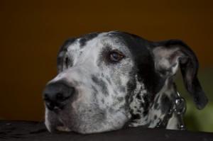 Bilbo - Deutsche Dogge (Eigentümer: Melanie Unterberg)