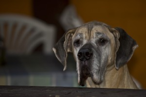 Lexa - Deutsche Dogge (Eigentümer: Melanie Unterberg)