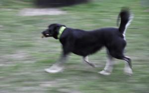 Die verdiente Siegerin. Der einzige Hund der eine Bockwurst apportiert hat. Herzlichen Glückwunsch.